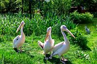 Eastern White Pelicans, Pelecanus onocrotalus, at a zoo. Also known as rosy, great white or white pelican.