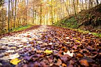 autumnal painted leaves in warm, sunny color on a forest track.