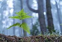 Ferns and Canary Island pine forest, El Pilar, El Paso Municipality, La Palma island, Canary Islands, Spain, Europe.