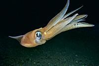 Common squid. Squid (Loligo vulgaris). Eastern Atlantic. Galicia. Spain. Europe.