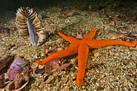 Sea Pen (Pteroides spinosum) and Red Starfish (Echinaster sepositus). Eastern Atlantic. Galicia. Spain. Europe .