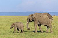 African elephant, Loxodonta africana, adult with young, Masai Mara National Reserve, Kenya, Africa.