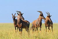 Topi Antelope, Damaliscus lunatus, group, Masai Mara National Reserve, Kenya, Africa.