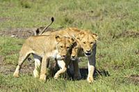 African lion, Panthera Leo, three females, Masai Mara National Reserve, Kenya, Africa.