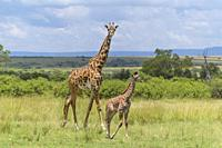 Masai Giraffe, Giraffa camelopardalis, female with young, Masai Mara National Reserve, Kenya, Africa.