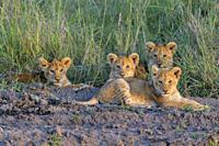 African lion, Panthera Leo, cubs, Masai Mara National Reserve, Kenya, Africa.