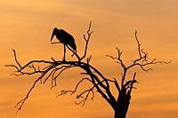 Marabu stork, Leptoptilos crumeniferus, at sunset, Masai Mara National Reserve, Kenya, Africa.