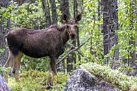 Moose, Alces alces, standing in forest, looking in to the camera, Laponia, Stora sjöfallets national park, Swedish Lapland, Sweden.
