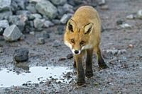 Red fox, vulpes vulpes looking in to the camera, Swedish Lapland, Sweden.
