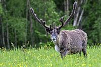 Reindeer, Rangifer tarandus, walking on a meadow with yellow flowers, looking in to the camera, Swedish Lapland, Sweden.