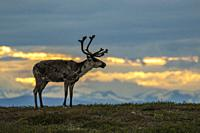 Reindeer, Rangifer tarandus on Mount Dundret at sunset with colorful sky and mountains in background, Gällivare, Swedish Lapland, Sweden.