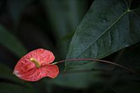 Flamingo flower at DBKU Orchid Garden, Kuching, Sarawak, Malaysia