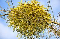 mistletoe in a tree in wintertime in Germany.