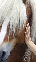 Haflinger stallion horse being touched by a human hand, Småland, Sweden.