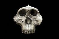 Skull of paranthropus boisei, replica. Catalan Museum of Archaeology, Barcelona, Spain.