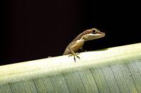 Close-up of Slender Anole (Anolis limifrons) - La Laguna del Lagarto Eco-Lodge, Boca Tapada, Costa Rica [Controlled Specimen].