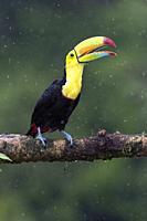 Keel-billed Toucan in the rain - La Laguna del Lagarto Lodge - Boca Tapada, San Carlos, Costa Rica.