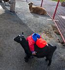 A toddler hugs a black goat at a petting farm, Nova Scotia, Canada. A llama and other friendly animals are also in that enclosure. Petting farms are a...