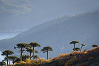 Monkey Puzzle trees (Araucaria araucana) among southern beeches (Nothofagus sp. ). Conguillio National Park. La Araucania. Chile.
