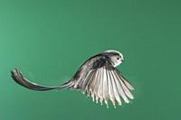 A Long-Tailed Tit (Aegithalos caudatus) photographed using High speed flash in free flight in the Uk.