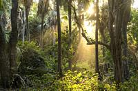 sun rays in the jungle, Bijilo Forest Park, Bijilo, Gambia, West Africa, .