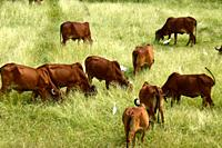 Cows and bulls are grazing on a lush grass field.