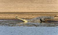 Gharial basking on the banks of chambal River, Gavialis gangeticus, Rajasthan, India.