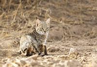 Desert Cat, Felis margarita, Jaisalmer, Rajasthan, India.