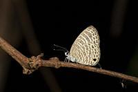 Trasparent Sixline Blue Butterfly, Nacaduba kurava, Amboli, India.