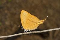 Yamfly Butterfly, Loxura atymnus, Thane, Maharashtra, India.