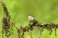 Asian Brown Flycatcher, Muscicapa latirostris, Ganeshgudi, Karnataka, India.