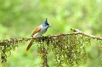 Asian Paradise Flycatcher, Terpsiphone paradisi, Female, Dandeli, Maharshtra, India.