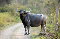 Wild Buffalo also called Asian buffalo crossing the road, Bubalus arnee, Kaziranga National Park, Assam, India.