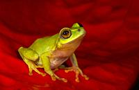 Raochestes Beddomi endemic to southern Western Ghats of southwestern India in Kerala and Tamil Nadu, Kerala, India.