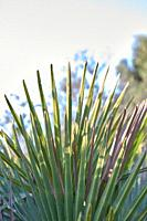 Some palmetto or margalló branches typical of arid and dry regions, generally close to the coast, in North Africa, Spain.