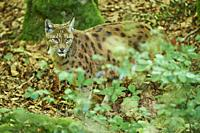 Eurasian lynx (Lynx lynx) in a forest, captive, Bavarian Forest Nationalpark, Bavaria, Germany, Europe.