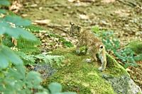 Young Eurasian lynx (Lynx lynx) in a forest, captive, Bavarian Forest Nationalpark, Bavaria, Germany, Europe.