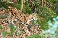 Eurasian lynx (Lynx lynx) mother animal with her youngster in a forest, captive, Bavarian Forest Nationalpark, Bavaria, Germany, Europe.