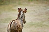 Young Grévy's zebra (Equus grevyi), captive, Germany