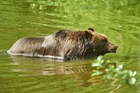 Eurasian brown bear (Ursus arctos arctos) in a forest, captive, Czech Republic