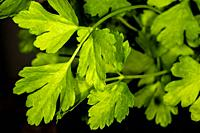 Parsley, closeup of the young leaves in spring.