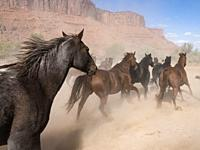 A herd of saddle horses kick up a cloud of dust as they are herded on the Red Cliffs Ranch near Moab, Utah.
