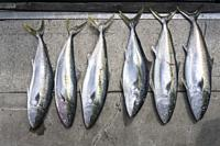 display on wharf of the catch after fishing trip, shot in bright late spring light at Whitianga, Coromandel, North Island, New Zealand.