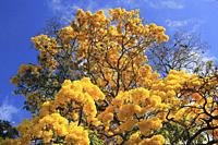 Yellow blossom in spring Tabebuia chrysantha or Araguaney the National tree of Venezuela an emblematic native species of extraordinary beauty.