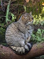 European wildcat (Felis silvestris silvestris) in National Park Bavarian Forest (Bayerischer Wald)(enclosure). Europe, Central Europe, Germany, Bavari...