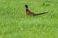 A common pheasant is searching for fodder on a meadow.