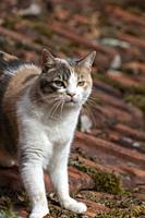 France, Alsace, Bas-Rhin, chat domestique / France, Alsace, Bas Rhin, domestic cat.