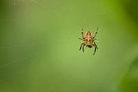 A male European Garden Spider (Araneus diadematus) with its prey on a web.