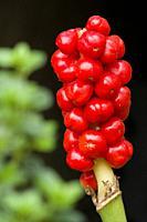 The berries of Italian arum (Arum italicum) in an English garden in summer.