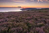 Heather on Porlock Common in the Exmoor National Park with the Bristol Channel beyond. Somerset, England.